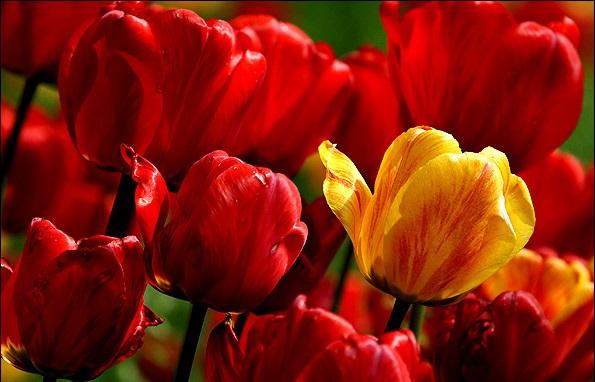 پیازهای گلدارزیبا