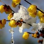 گل یخ