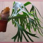 سرخس شاخ گوزنی